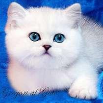Элитные котята серебристые британские шиншиллы шоу класс, в Москве