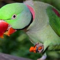 Птенцы Александрийского попугая, в Москве