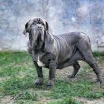 Шикарные щенки Мастино, в г.Киев