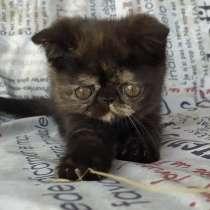 Продам котёнка экзота, в г.Минск