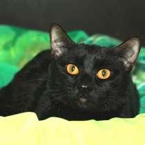 Блестящий Чёрный Граф. Котик-подросток в добрые руки, в Калуге