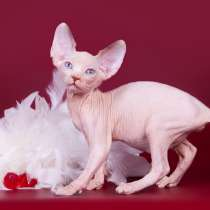 """""""Собачья"""" преданность, это котёнок Эльф, бамбино, сфинкс, в Омске"""
