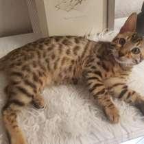 Bengal Katze, в г.Нюрнберг