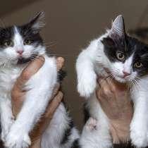 Красивые черно-белые котята в добрые руки, в Калуге