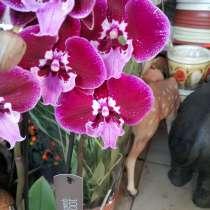 Орхидея, в Невинномысске