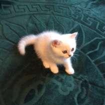 Британский котенок шоу класса мальчик Цезарь, в Москве