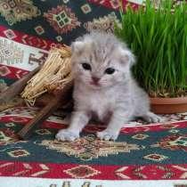 Продается шотландский котенок, в г.Баку