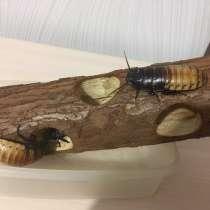 Отдам взрослых Мадагаскарских тараканов, в Красноярске
