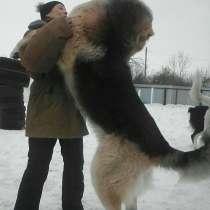 Кавказкие волкодавы, в Тольятти