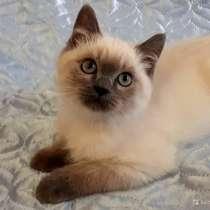 Котик британец котята-домашние любимцы, в Краснодаре