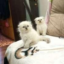 Продаются чистокровные шотландские котята, Scottish fold, в г.Кишинёв