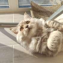 Шотландский котенок, в г.Варшава