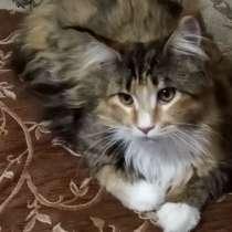 Кошка мейн кун, в Самаре