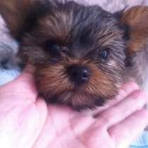 Мини Йоркширски терьер Щенки Mini Yorkshire Terrier Welpen, в г.Birstein