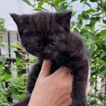 Шотландский котенок, в Нижнем Тагиле