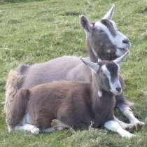 Племенные козы Тоггенбурской породы (из Европы класса Элита), в г.Ереван