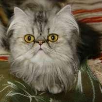 Экстремальная голубая персидская кошка от Интэр Чемпиона, в Екатеринбурге