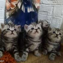 Продам шотландских котят окрас мрамор на серебре, в г.Кишинёв