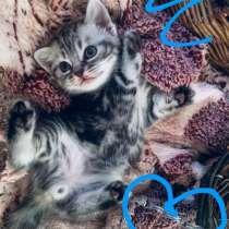 Шотландские котята, в Нижнекамске