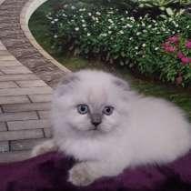 Шотландские котята, в г.Кривой Рог