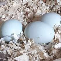 Инкубационное яйцо кур породы Амераукана, в Омске