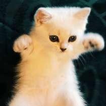 Британский котенок мальчик Цицерон, в Москве