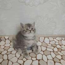 Британский котенок, в Новосибирске
