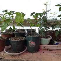 Саженцы граната комнатного, гуаявы, лавра и кофе арабика, в Тамбове