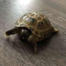 Сухопутная черепаха, в Тюмени