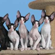 Кудрявые котята Корниш рекс, в г.Кирьят-Бялик