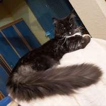 Кот породы Мейн Кун, в г.Кременчуг