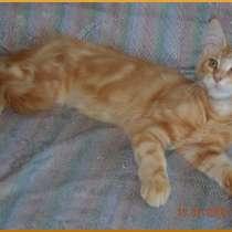 Великолепные котята мейн-кун из питомника, в Саратове