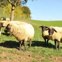 Племенные овцы Суффолк (Скот из Европы класса Элита), в Красноярске