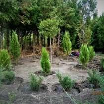 Саженцы хвойных деревьев Туя и Можжевельники, в Волгодонске