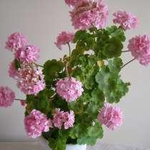 Герань розовая полумахровая, отростки, в Москве