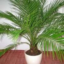 Финиковая пальма. детки в наличии, в г.Жодино