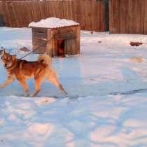 Продам щенков восточно-сибирской лайки, в Иркутске