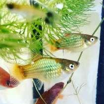 Продам аквариумных рыбок, в Старом Осколе