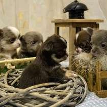 Продажа щенков Чихуахуа, в г.Кривой Рог