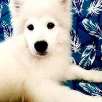 Samoyed dog, в г.New York Mills
