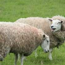 Продам срочно и оптом овец, в г.Кокшетау
