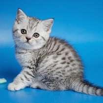 Шотландские котята для Вас, в Москве
