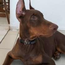 Продается щенок добермана, в г.Ришон-ле-Цион