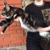 Кошечка мейн-кун, в Курске