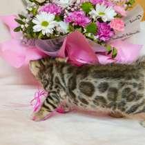 Бенгальские котята. Питомник, в г.Минск