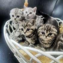 Продаю шотландских котят фолд и страйт, в г.Бишкек