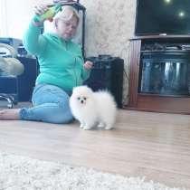 Pomeranian, в Ярославле