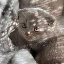 Шотландские вислоухие котята, в г.Баку