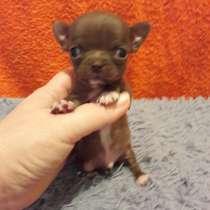 Миниатюрный щенок чихуахуа из питомника. Есть доставка, в Краснодаре