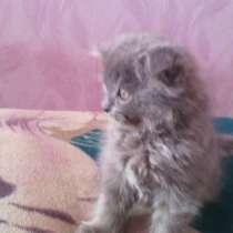 Британские котята, в г.Макеевка